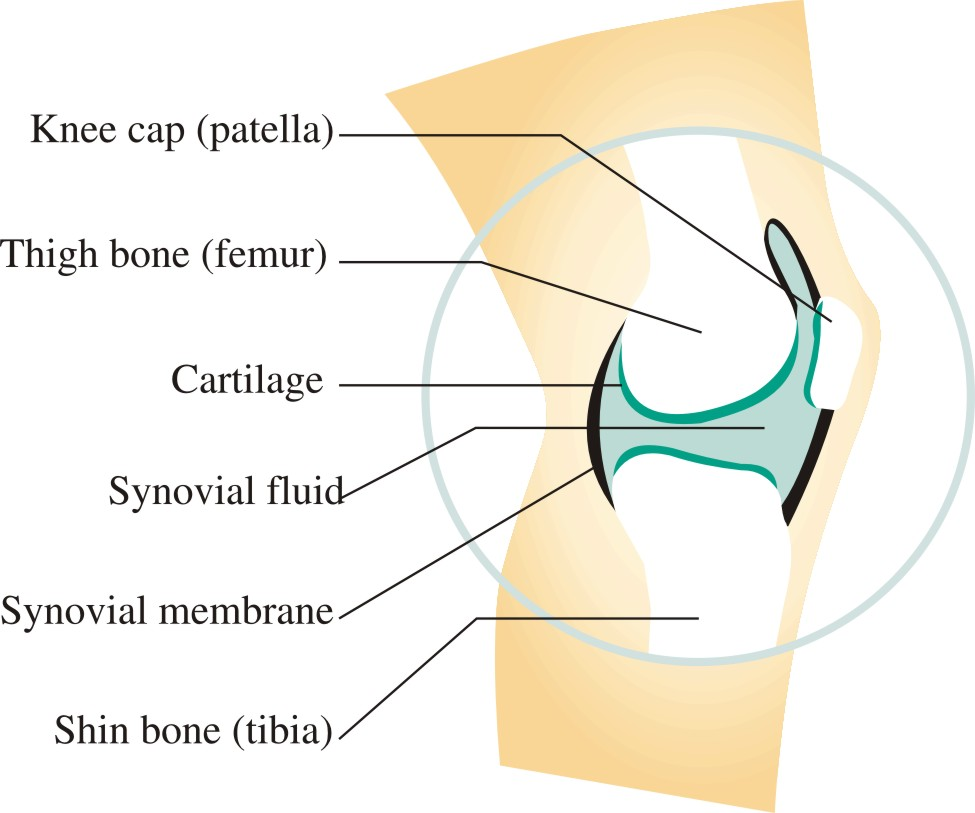 Synovial Joint, What is a synovial joint? What is synovial fluid?